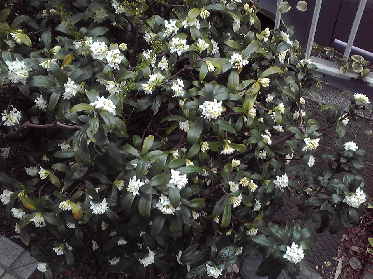沈丁花が咲き始めました